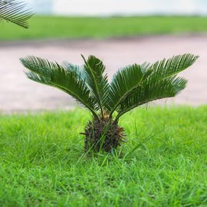 Sago palms are a lethal poison to dogs