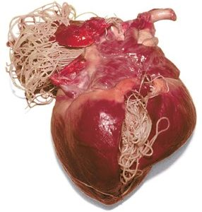 heartworm infected heart
